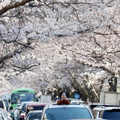 2019 벚꽃 개화