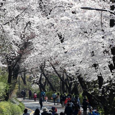 올해는 벚꽃도 거리두기
